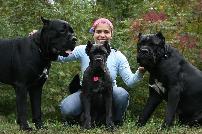 American Mastiff Dogs For Sale