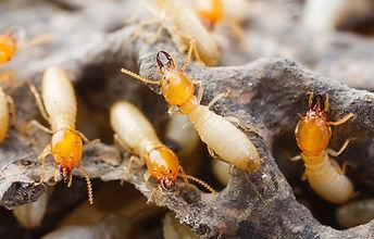 termite-control-pest-eliminate-kill-sela