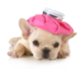sick puppy - french bulldog with hot wat