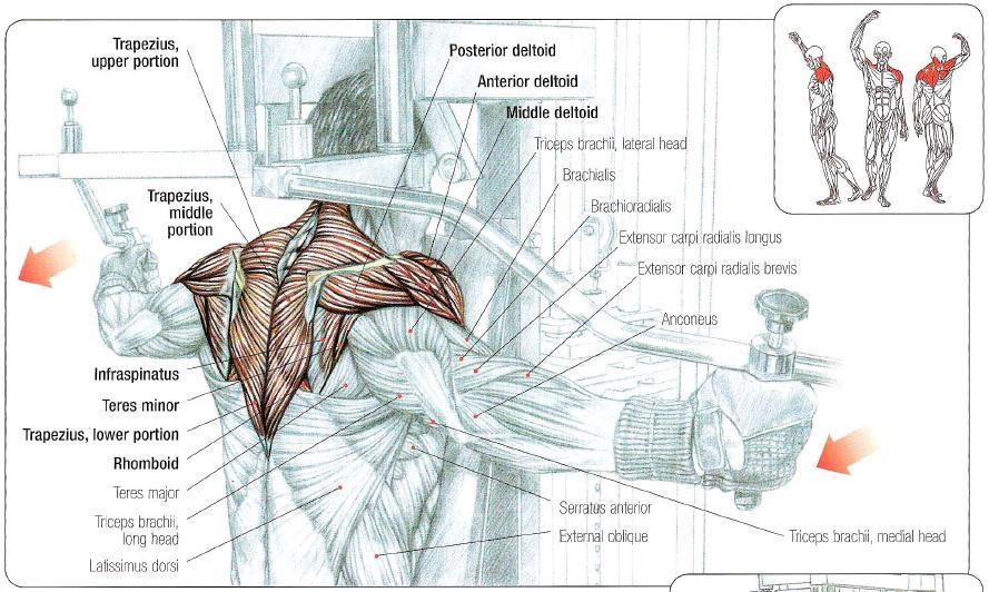 Rear delt anatomy