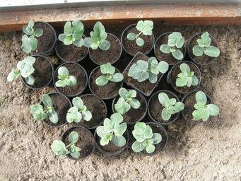 Выращивание дыни из семян: посадка на рассаду, в открытый грунт и теплицу