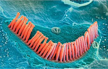 Image result for Hair Cell Regeneration