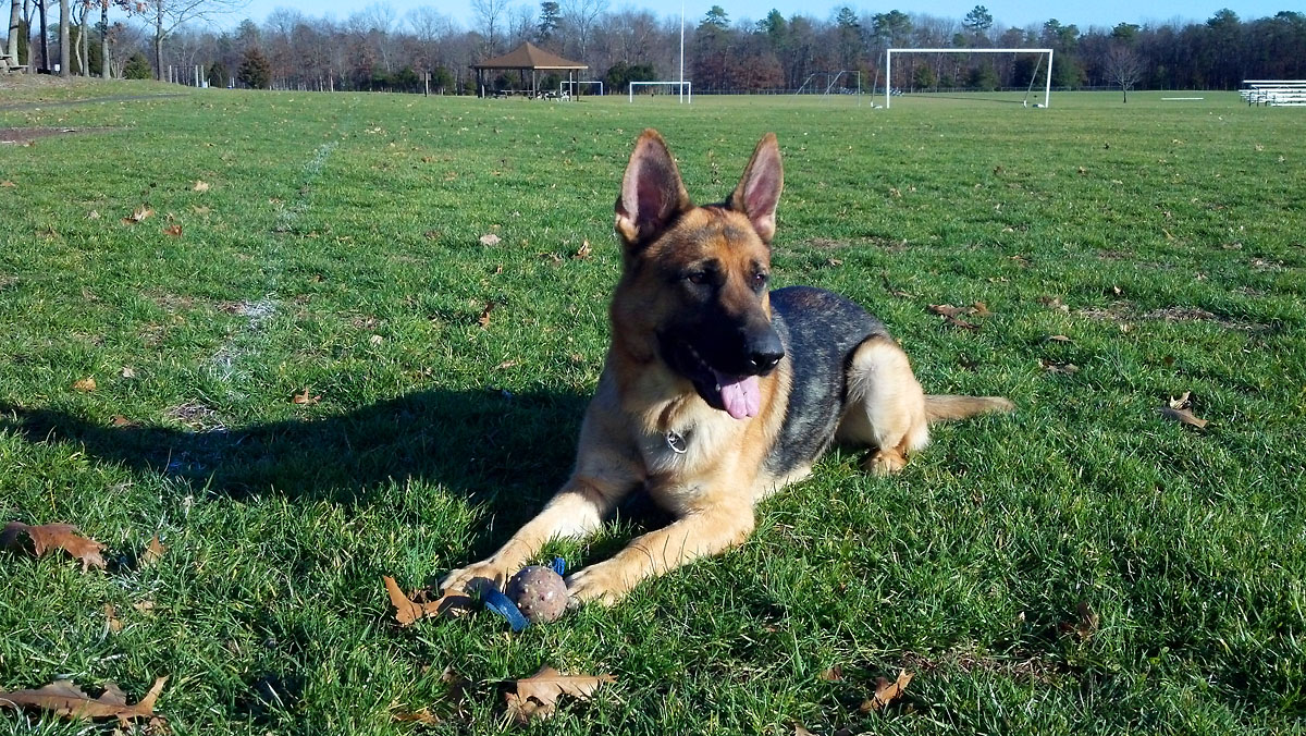 New Jersey Dog Trainer Dog Trainer Nj Dog Trainer Pa Ny