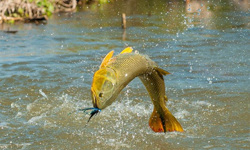 Argentina duck hunting cordoba dove shooting golden for Golden dorado fish