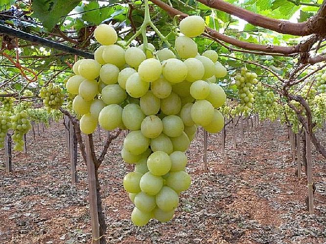 Boghemasrl uva italia - Uva da tavola bianca ...