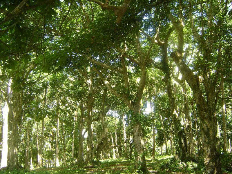 Pili Trees