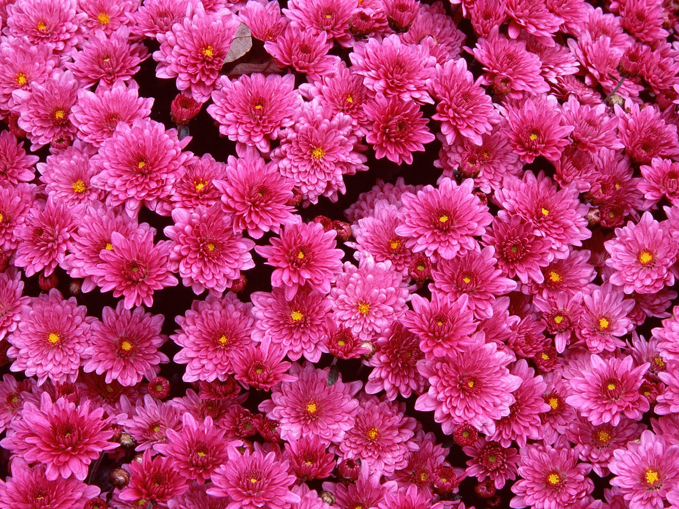 Donaflora floral design service wedding flowers silver spring md dark pink cushion mumsg mightylinksfo Choice Image