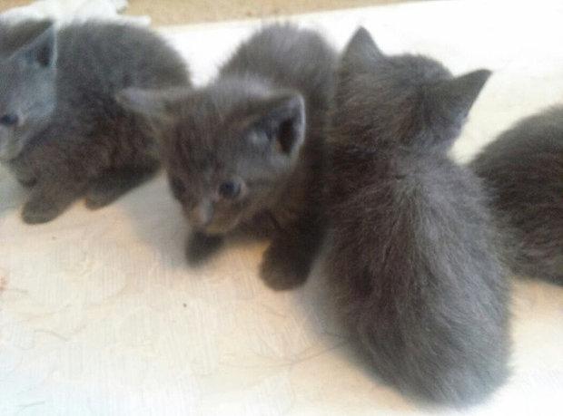 russian+kittens.jpg
