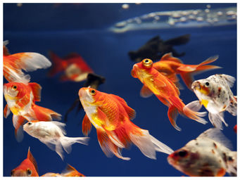 Aqualife acuarios marinos y agua dulce peces de agua fria Peces de agua dulce fria