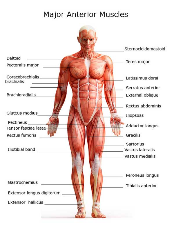 Spicy Anatomy Muscular System