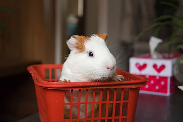 How to care for your Guinea Pig Forest animal hospital