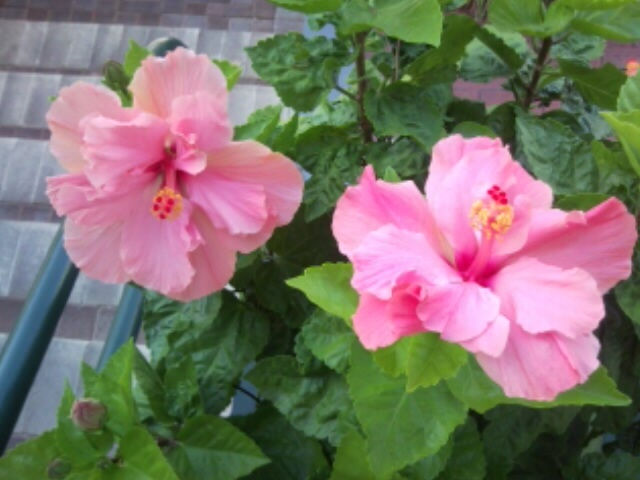 DH Hibiscus Flowers