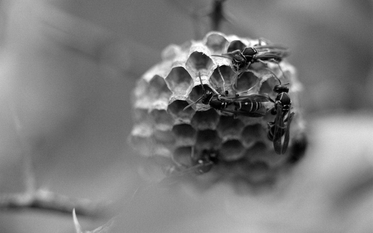 wasp BW.jpg