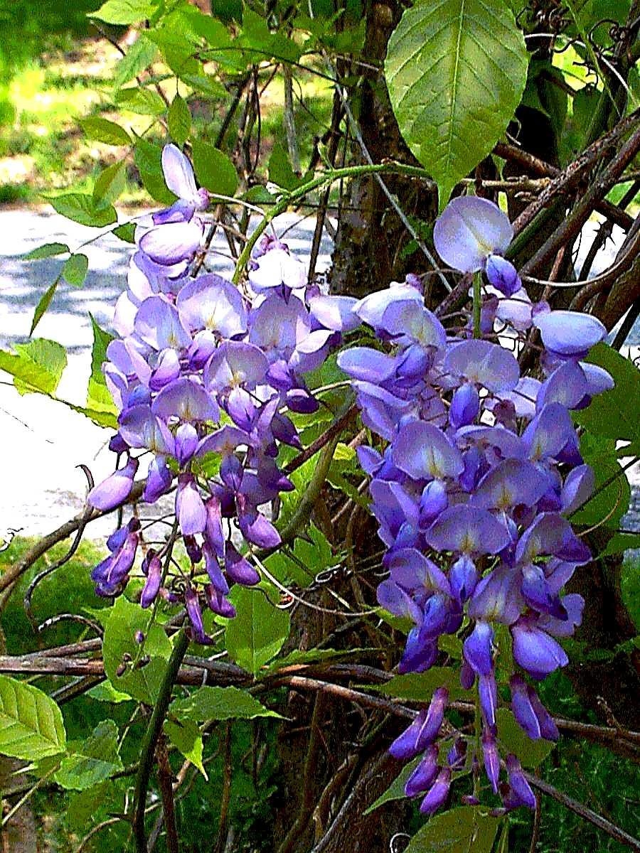 plantas toxicas jardim:Bush Wisteria Plant