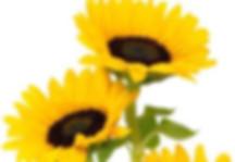 Solros (2).jpg