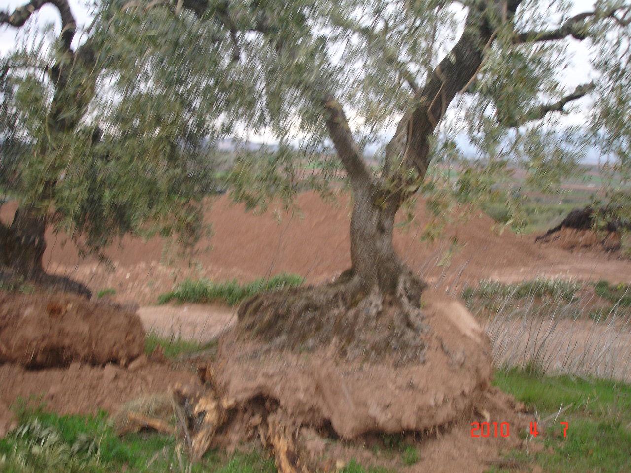 Olivos viveros centenarios for Viveros de olivos