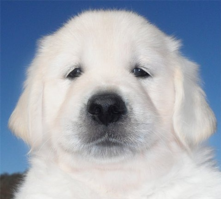 English white golden retriever puppies