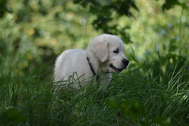 Image Result For Golden Retriever Puppies Sacramento