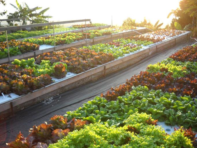 Coastview aquaponics big island aquaponic farm hawaii for Aquaponics hawaii