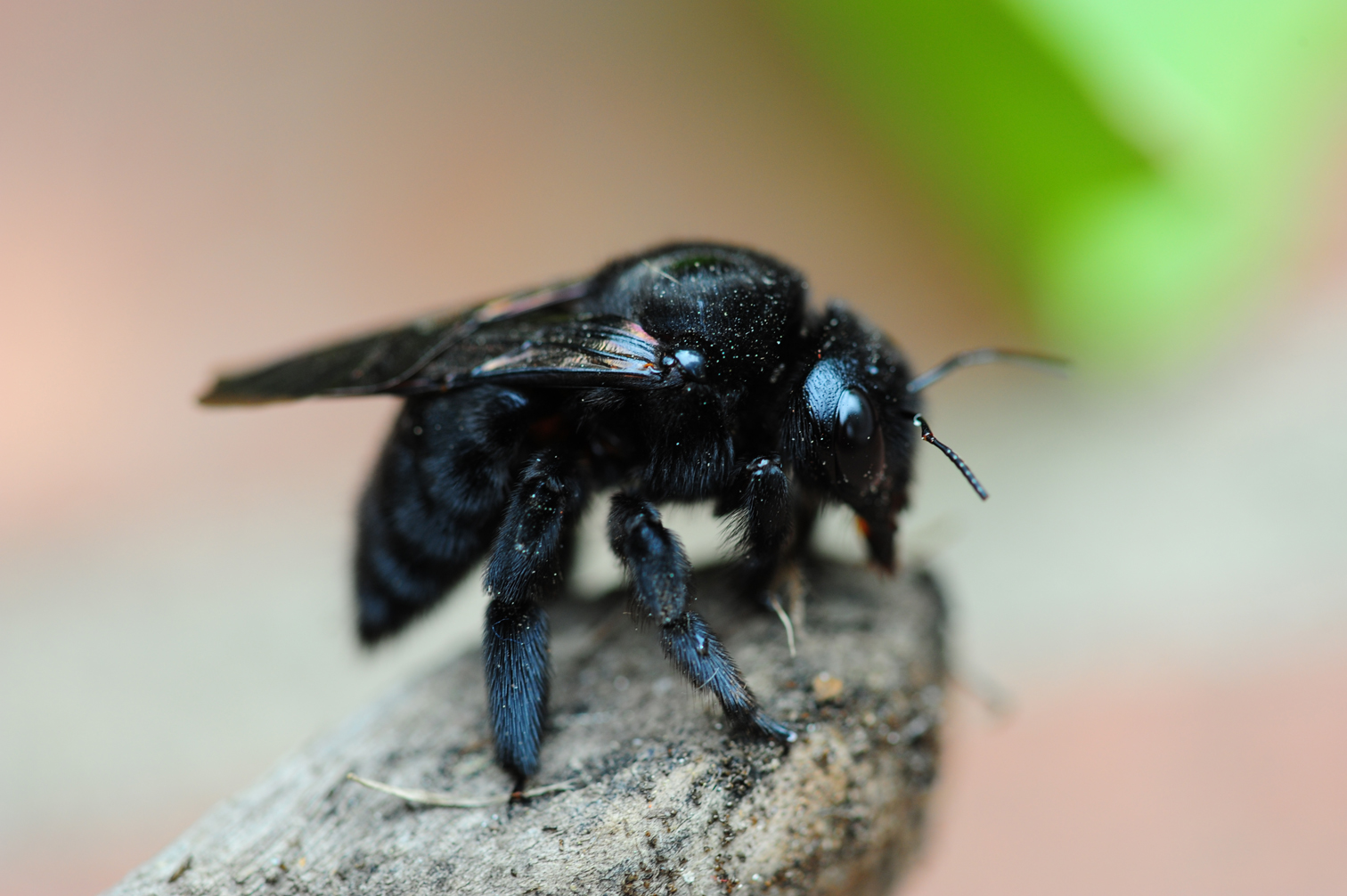 Carpenter Bee Are Bees Similar To Honey Traps