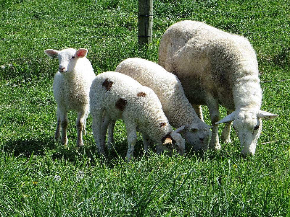 The Baalands Katahdin Sheep In Western Maryland Performance