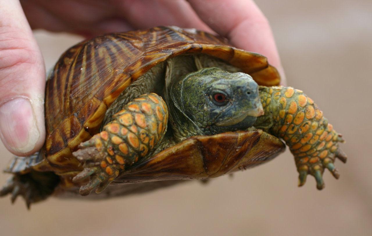 Desert Box Turtle3.jpg