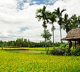 Rice fields of Cam Thanh