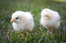 Baby Chicks for Backyard Chickens