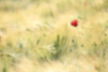 poppy-1144084_1920.jpg
