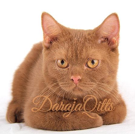 Jual kitten british shorthair 2015