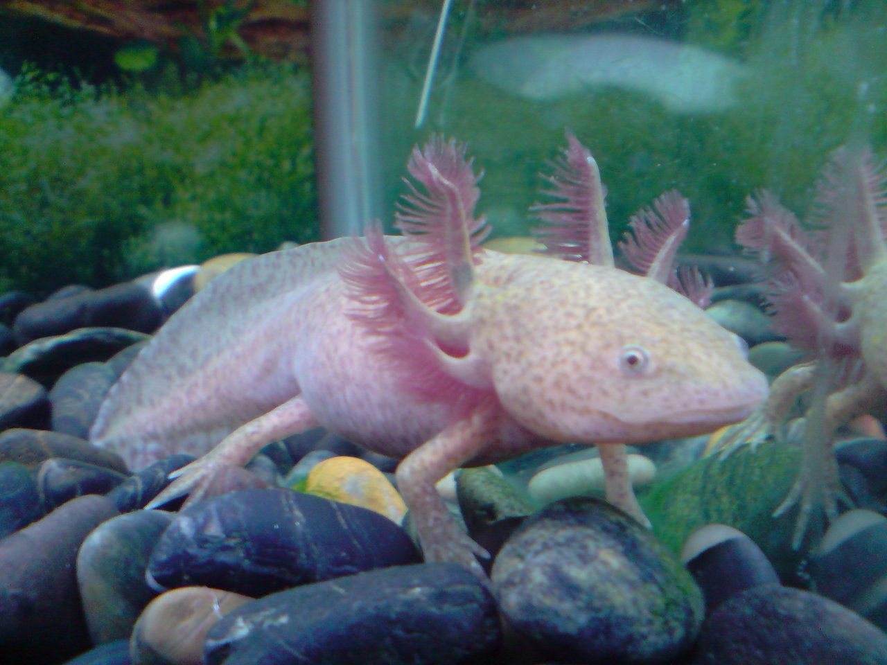 Axolotls for sale for Mexican walking fish for sale
