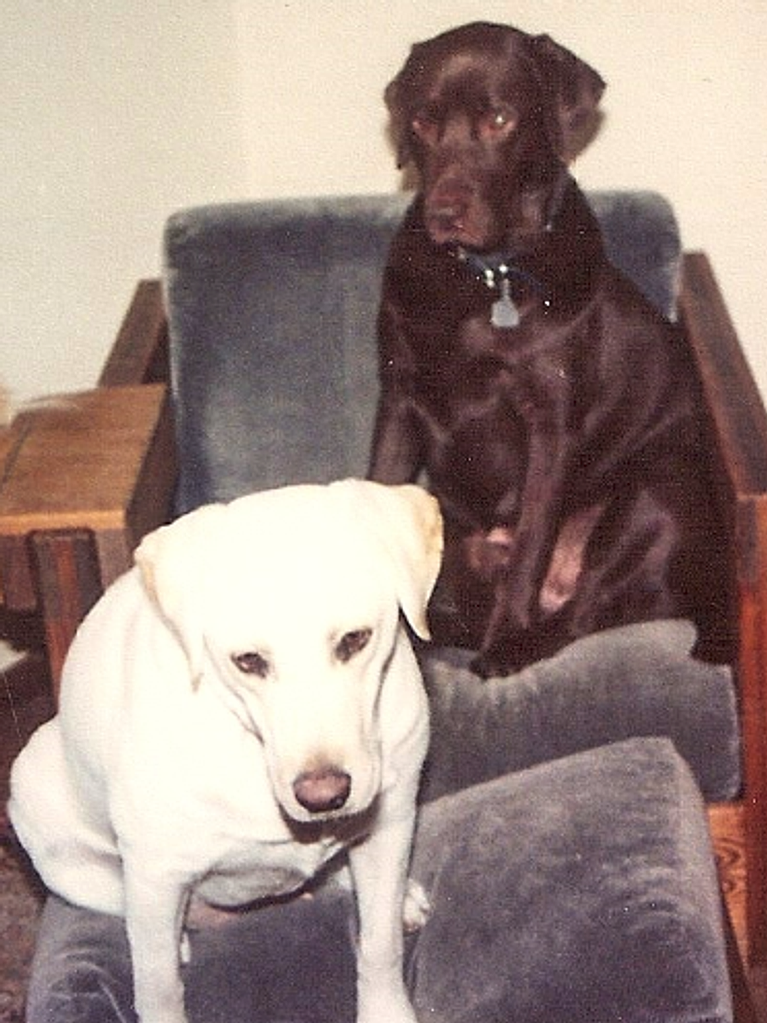 Sooner and Ziggy the Lab Retrievers
