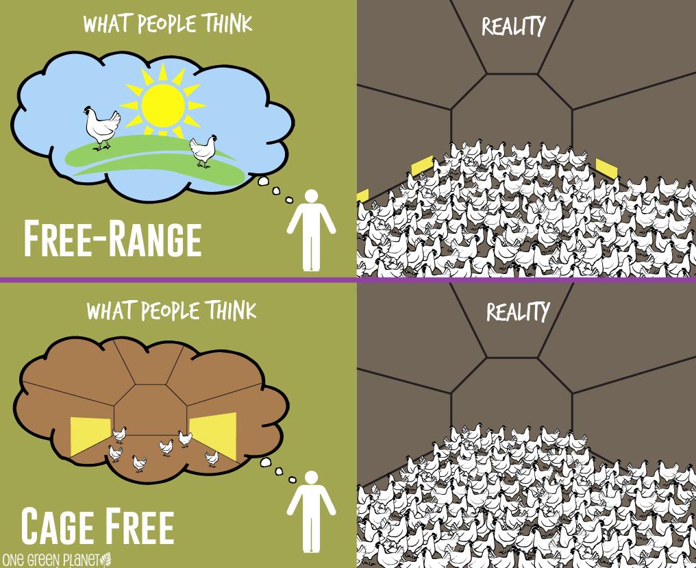 free run vs cage free
