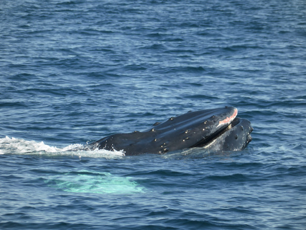 Humpback whale feeding cape cod massachusetts