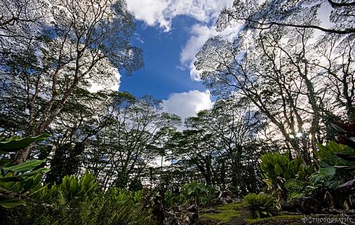 Abesia Trees
