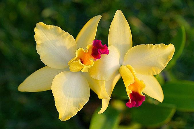 Orquídeas amarillas