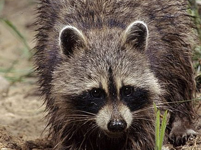 Animals raccoon for Do raccoons eat fish