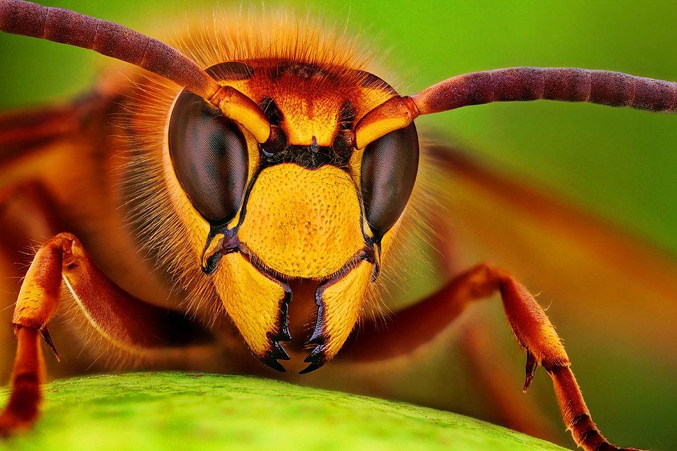 Sršeň (hornet)