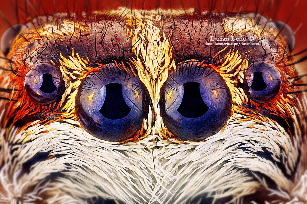 Jumping spider - eyes