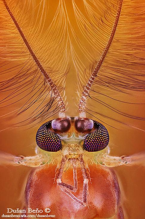 Chironomus plumosus