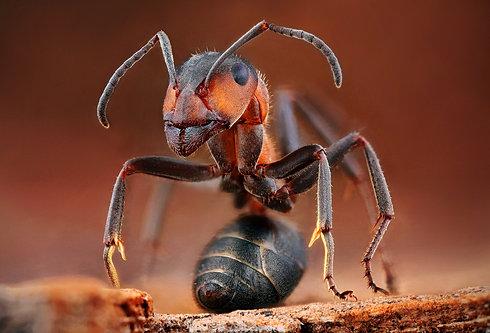 Mravec horský