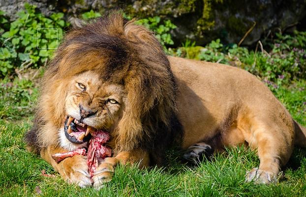 Favori Un lion en liberté dans la Sarthe serait passé à l'attaque | actu  GO39