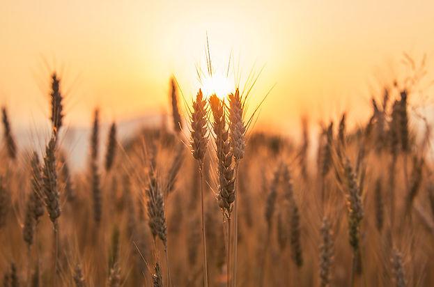 3- 3 Wheats.jpg