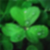 4 leaf clover.jpg