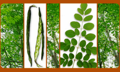 malunggay leaves as shampoo The effectiveness of malunggay (moringa oleifera) as an antibaterial soap the malunggay tree (moringa oleifera) the most nutritious part are the leaves.