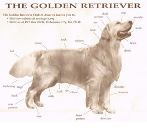 Akc golden retriever breed standard