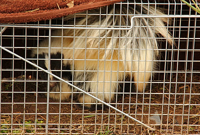 how to get rid of skunks with ammonia