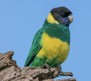 PL Parrot.jpg