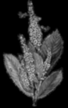 web-Flowers-Clethra-Bees-Vintage-Image-G