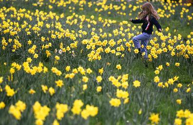 daffodilsl_468x302